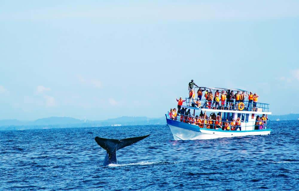 whale watching - one of top the things to do in sri lanka
